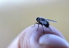 flyday finger fly (conall..) Tags: pollenia clusterfly flyday nikon afs nikkor f18g lens 50mm prime primelens nikonafsnikkorf18g closeup raynox dcr250 macro desenfoque outoffocus narrow dof selective focus