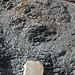 Gray shale (Benton Shale, Upper Cretaceous; Red Rock Canyon Open Space, Colorado Springs, Colorado, USA) 4