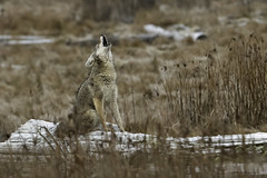 Coyote (shimmeringenergy) Tags: canislatrans richmond britishcolumbia frost coyote howling