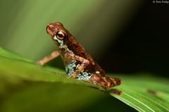 Pelophryne signata (Lowland Dwarf Toad) (Tom Frisby) Tags: toad amphibian wildlife fauna herpetology nikon borneo