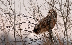 nature (bp5131) Tags: short eared owl lake county indiana kankakee sands
