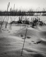 Sings of life. (A.Koponen) Tags: canonphotography canon eosr rf24105mmf40 snow blackwhitephotography blackwhite nature naturephotography kuopio suomi finland