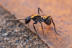 Golden-taile Spiny Ant (RoosterMan64) Tags: ant australia closeup goldentailespinyant insect macro nsw nature wildlife