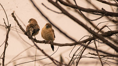 Indian Silverbills (pointn'click) Tags: hoskote bangalore birds winter