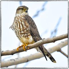 Merlin (RKop) Tags: voa voiceofamerica butlercounty ohio raphaelkopanphotography d500 600mmf4evr 14xtciii nikon nature