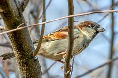 Sparrow (cj13822) Tags: sparrow sony canon a6300 bird birds birding nature wildlife animal sonyalpha mc11 ilce6300 70300mm