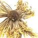 Dried Flower 11