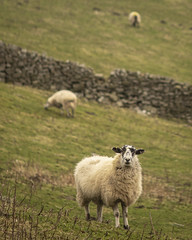 Spotted by a sheep ... (funkydeez2000) Tags: countryside yorkshiredales animal food fluff feathers wool sheep pheasant manuallens manualfocus lightroomcc