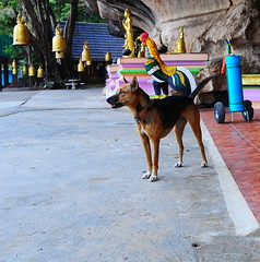 ,, Angel Eyes & The Tube ,, (Jon in Thailand) Tags: angeleyes dog k9 rescueddod dogrescue themonkeytemple thetube blue red yellow goldenbells giantchicken purple green pink jungle nikon nikkor d300 175528 orange dogexpression statues littledoglaughedstories