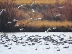 Afternoon Friday (Robert Cowlishaw (Mertonian)) Tags: wonder awe ineffable parasophia wetlands pond willows nature outside canonpowershotsx70hs sx70hs powershot canon winter2019 seagulls robertcowlishaw mertonian birdrefuge