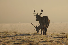 Frosty Morning (andy_AHG) Tags: wildlife winter stag fallowdeerbuck antlers animals nikond300s yorkshire