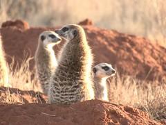 Meerkat (Pixi2011) Tags: meerkat rietvleinaturereserve southafrica africa wildlifeafrica smallanimals animals nature wildanimals