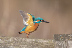 Hop, Skip, Jump........ (Linda Martin Photography) Tags: dorset male wildlife nature bird northbourne riverstour kingfisher alcedoatthis naturethroughthelens coth coth5 ngc sunrays5 specanimal npc
