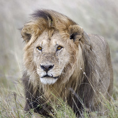 Intensity (ms2thdr) Tags: africa safari serengeti serengetiplains tanzania lion bigcat safarianimal cat