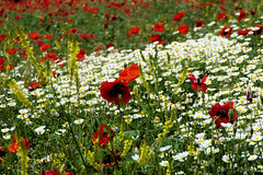 P1020174 (alainazer) Tags: esparrondeverdon provence france fiori fleurs flowers fields champs colori colors couleurs coquelicot poppy papavero