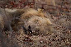 Shhh.....he sleeps! (leendert3) Tags: leonmolenaar southafrica krugernationalpark wildlife wilderness wildanimal nature naturereserve naturalhabitat mammal predator africanlion ngc npc