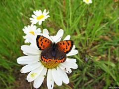 Butterfly 1911 (Lycaena phlaeas) (+1800000 views!) Tags: butterfly borboleta farfalla mariposa papillon schmetterling فراشة