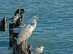 🇺🇸 Great white heron in the evening sun KW 0891 (vickyoutenphoto) Tags: vickyouten greatwhiteheron heron wildlife nature nikon nikond7200 nikkor55300mm keywest florida usa