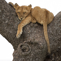 Happy Caturday (AnyMotion) Tags: lion löwe pantheraleo cub jungtier young jung tree baum branchfork astgabelung liontree 2018 anymotion morukopjes serengeti tanzania tansania africa afrika travel reisen animal animals tiere nature natur wildlife 6d canoneos6d square 1600x1600 ngc npc