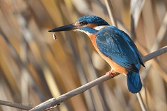 Fishing (MoGoutz) Tags: bird fishing kingfisher atthis alcedo volvi lake μάδυτοσ νέα αλκυόνη βόλβη λίμνη kuningaskalastaja eisvogel kungsfiskare deurope martinpêcheur pescador martín blauet pescatore martin