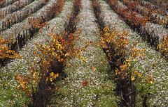 Automne flamboyant (chriskatsie) Tags: vignes vignoble vides uva raisin grapes fruit landscape paysaje paysage agricultura agriculture vaucluse provence france pape