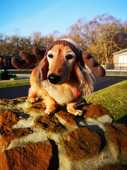 Festive Wiendeer 2 (35mmMan) Tags: festive wiendeer christmas jumper antlers suuny huaweimobile dachshund miniature longhaired family dog hound