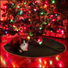 """I am the gift"" (Timothy Valentine) Tags: lights 1219 tree christmas quinnomannion happycaturday 2019 home cat eastbridgewater massachusetts unitedstatesofamerica"