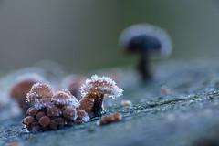 Klein maar fijn (aj.lindeboom) Tags: macrocloseup paddenstoel winter ijs