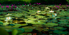 water lilies (Lr Home) Tags: waterlilies sony6000 sel1650pz