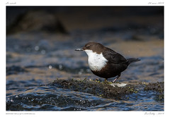 Le cincle | White-throated Dipper (BerColly) Tags: france auvergne puydedôme bird water river google flickr riviere oiseau sioule whitethroateddipper cincle bercolly