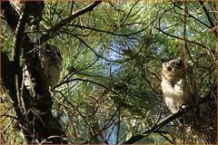 _52R1902 (Arthur's Dream (Dreamer:Thanks for +8.145.000 v) Tags: bird nature collar owls family inexplore explore