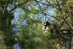 _52R1949 (Arthur's Dream (Dreamer:Thanks for +8.145.000 v) Tags: bird nature collar owl resting inexplore explore artdream