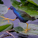 American purple gallinule tiptoeing through the lily pads in Everglades National Park, Florida