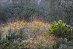 Midwinter Fire (Mabacam) Tags: 2019 london richmonduponthames richmond richmondpark park isabellaplantation garden shrubs cornus dogwood midwinterfire seasonal nature outdoors