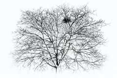 bird's nest (ro_ha_becker) Tags: minimalistic minimal monochrome schwarzweiss highkey biancoenero blancetnoir blackandwhite blancoynegro zwartwit tree baum winnenden