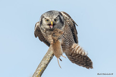 Blah - vole doesn't compare to T-bone.. (Earl Reinink) Tags: northernhawkowl owl bird animal vole raptor prey earlreinink outdoors nature wildlife tozdtauaea