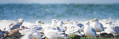 Pause for a Moment (memories-in-motion) Tags: moment time pause rest birds gull seagull beach water color eyes group stay enjoy panorama nature photography panasonic mft dmcgx8 gx8 leicadg100400f4063 400mm texel island splash bokeh