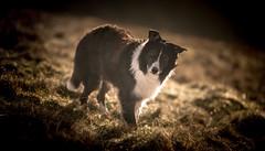 A Ray of Sunshine (JJFET) Tags: border collie dog sheepdog herding