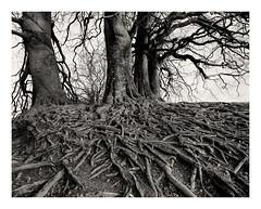 Avebury 2 º» (CactusD) Tags: england avebury wiltshire archaeology neolithic greatbritain great britain epson v850 silverfast uk unitedkingdom gb landscape film ilford fp4plus blackandwhite monochrome bw black white blackwhite nikkorsw150mmf8 nikkor 150mm f8 chamonix 810v 10x8 8x10 pyrocathd btzs texture acontius beechtrees trees