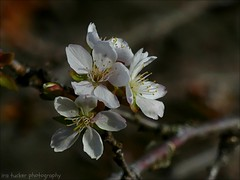 One resolution I have made, and try always to keep, is this:... (itucker, thanks for 5+ million views!) Tags: macro bokeh cherry blossom cherryblossom raulstonarboretum fujicherry