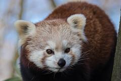 Kleiner Panda (Petra Güldner) Tags: kleiner panda zoo duisburg