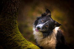 Round the Bend (JJFET) Tags: border collie sheepdog herding paddy dog tree