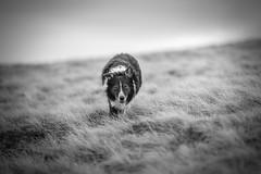 Being Stalked (JJFET) Tags: border collie dog sheepdog herding