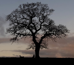 Race to Touch the Tree (Chris Willis 10) Tags: will christmas ingleton star yorkshiredales tree nature silhouette landscape sunset sky outdoors branch backlit africa scenics backgrounds baretree blackcolor ruralscene beautyinnature loneliness plant forest nopeople oak day