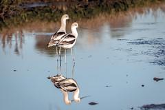American Avocets (winter) (Bob Gunderson) Tags: americanavocet birds california northerncalifornia pier94saltmarsh recurvirostraamericana sanfrancisco shorebirds christmasbirdcount2019