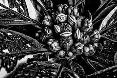 Nightmare (bafdias) Tags: fujifilmxpro2 olympuszuikomacro90mmf2 macro plant bw monochrome