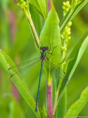 Sirokeijukorento (Lestes sponsa), Emerald damselfly (NI5A9977LR) (pohjoma) Tags: hyönteinen hyönteiset korento sirokeijukorento sudenkorento lestessponsa emeralddamselfly commonspreadwing canoneos5dmarkiv finland sigmaapomacro180mmf28exdgoshsm nature wildlife insect wings dragonfly damselfly macro