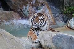 Tiger Jacuzzi (greekgal.esm) Tags: sumatrantiger tiger bigcat cat feline animal mammal carnivore cj castrojr losangeleszoo lazoo losangeles griffithpark sony rx10m4 rx10iv