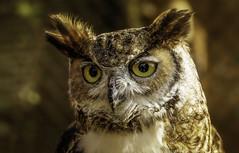 Wise Guy (Caleb4Ever) Tags: owlportrait owl raptor bird caleb4ever outdoors national nature portrait ngc npc