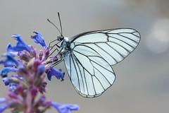 *** (NadyaSt) Tags: бабочка лето боярышница цветок nikon